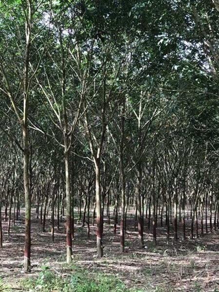 ขาย สวนยางพารา จำนวน 43 ไร่ อายุ ยางพารา 10 ปี พันธ์ยาง 251 กับ พันธ์ยาง 600