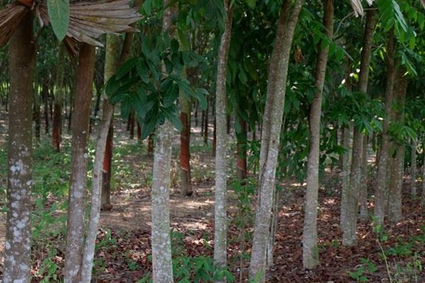 ขายที่สวนยางพารา จำนวน 43 ไร่ เอกสารสิทธิ ภบท.5 อยู่ใกล้ชุมชน น้ำยางออกดี