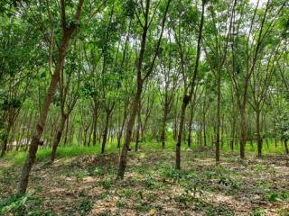 ขายสวนยางพารา อ.นายายอาม จ.จันทบุรี  เนื้อที่ 9 ไร่ 93 ตารางวา